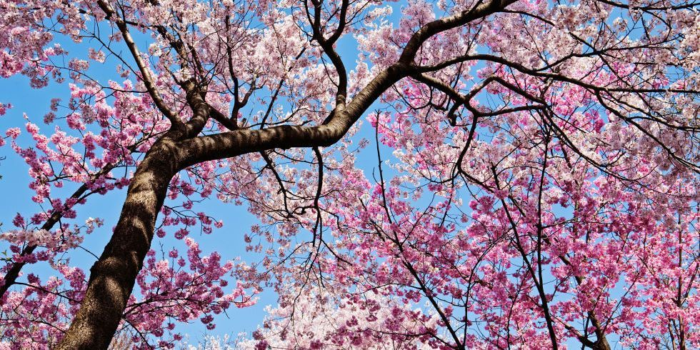 13 things you didn't know about cherry blossom https://t.co/htH0tK3MfL...