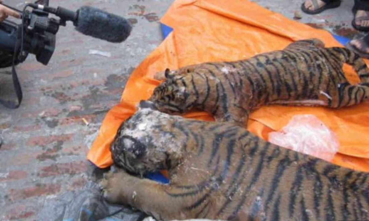 Five frozen #tigers found in man's refrigerator @khaleejtimes https://...