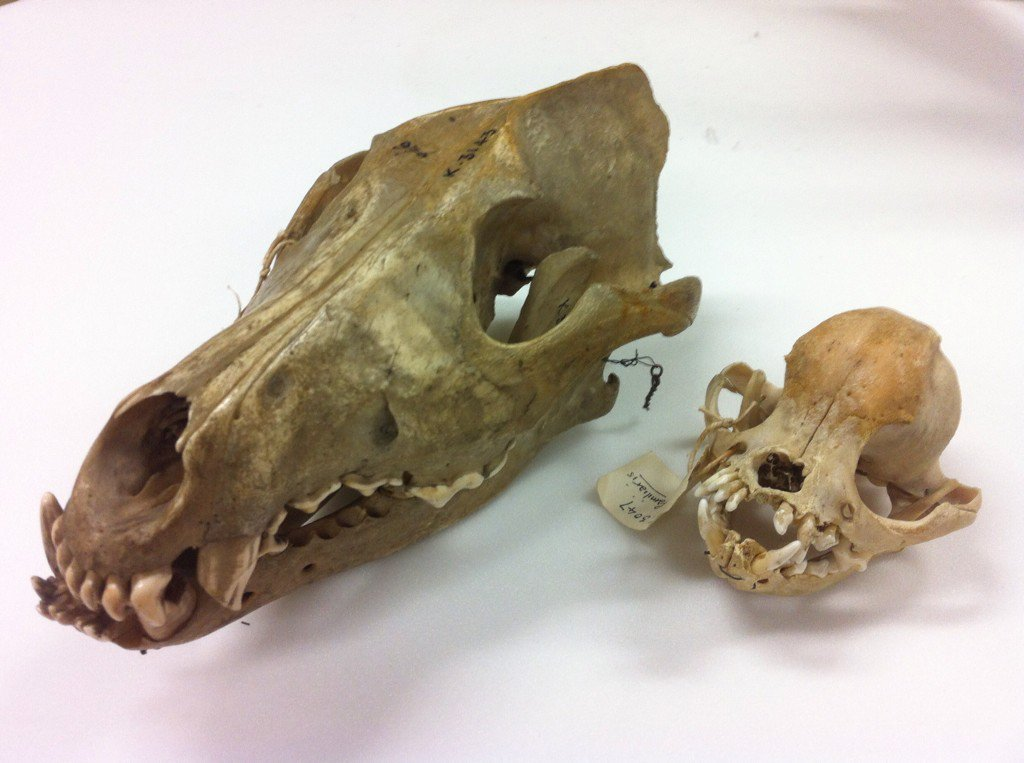 pug skulls mathew lowe on twitter quot when you see a pug skull next to 8235