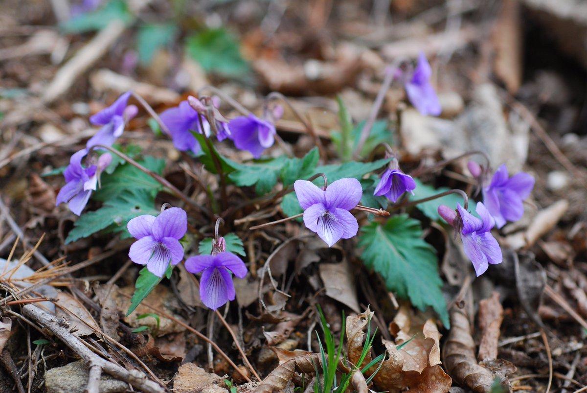 가평제비꽃입니다. 털제비꽃인데 잎 가장자리를 따라 불규친한 결각이 생긴 변종입니다. https://t.co/QHHZ8D3mdz