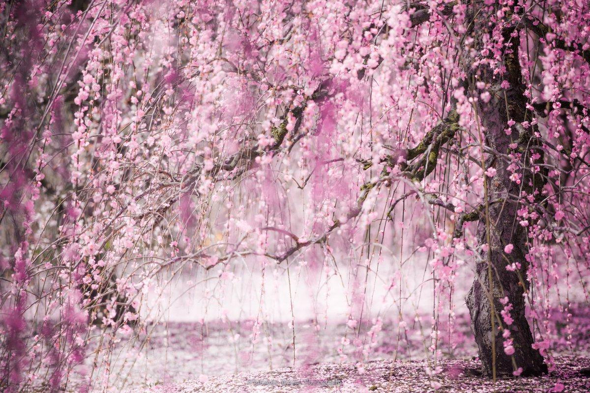 やはり鈴鹿の森庭園の「しだれ梅」はちょっと別格でした。本日最高潮、圧倒的な美です。今年の春一番の写真が撮れました。  #鈴鹿の森庭園 #春 #枝垂れ梅 #しだれ梅 #三重