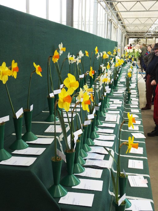 Just a week until the Early Daffodil Competition @RHSWisley, still tim...
