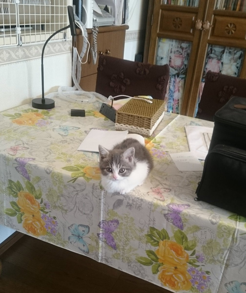 テーブルに上がった猫w降りられなくなったからってそこで寝るのは違うwww