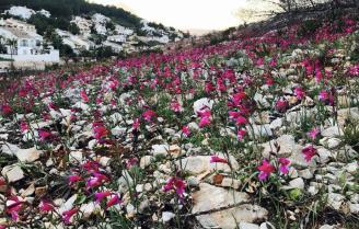 Espectacular floración a los 6 meses del incendio de #Xàbia  http://www. levante-emv.com/marina/2017/03 /22/espectacular-floracion-6-meses-incendio/1544290.html &nbsp; … <br>http://pic.twitter.com/azLfclLtcD