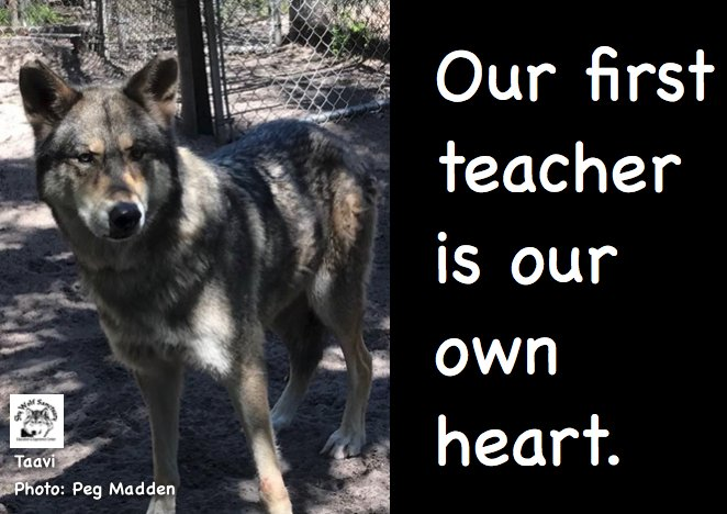 Our elusive Taavi. #shywolfsanctuary #wolfwisdom #wolves <br>http://pic.twitter.com/G4XQ93Ag5g