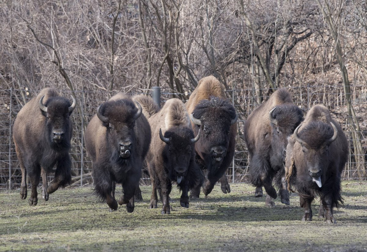 Wcs Newsroom On Twitter Ft Peck Tribes Gift Bison To Thewcs S