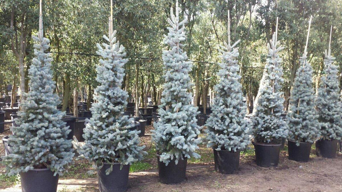 Pseudotsuga (Douglas-fir) description