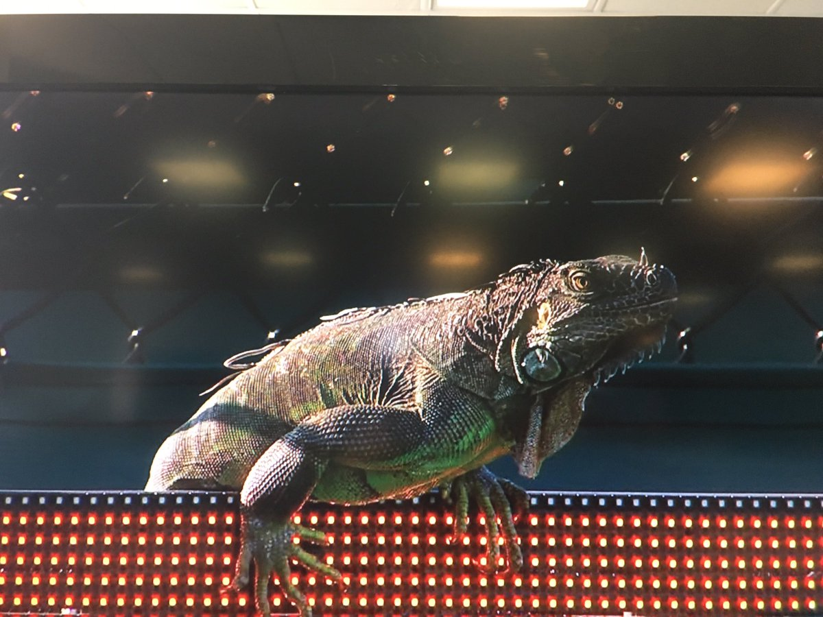 Here is the iguana that just ran onto court @MiamiOpen and interrupted Haas-Vesely match. @MiamiHerald @HeraldSports https://t.co/4qG6ONOLKI