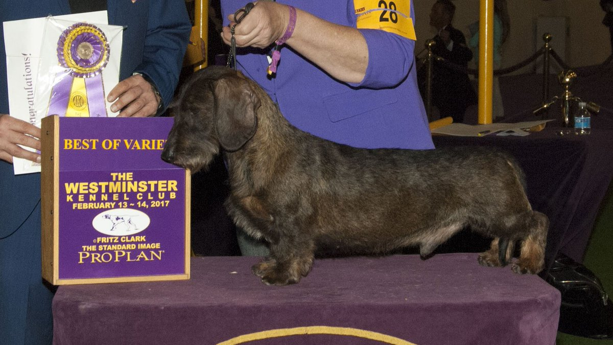Westminster Dog Show Spanish Water Dog Breed Judging