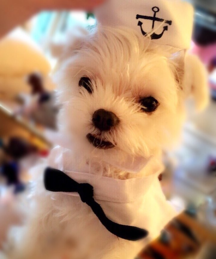 Tchaikovsky in his best sailor outfit. Excited for #NationalPuppyDay t...