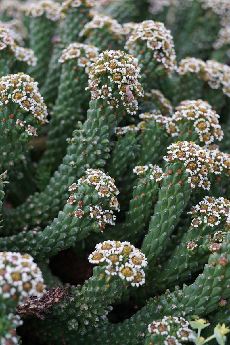 Ruth Bancroft Garden On Twitter Strange White Flowers Cluster At