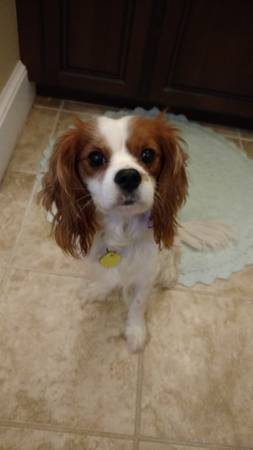 Cavalier King Charles ❯❯  http:// dogfinder.us/3wRma  &nbsp;   ❮❮ #Dogs #Puppies #DogFinder #AdoptADog<br>http://pic.twitter.com/YNGDhqsDvY