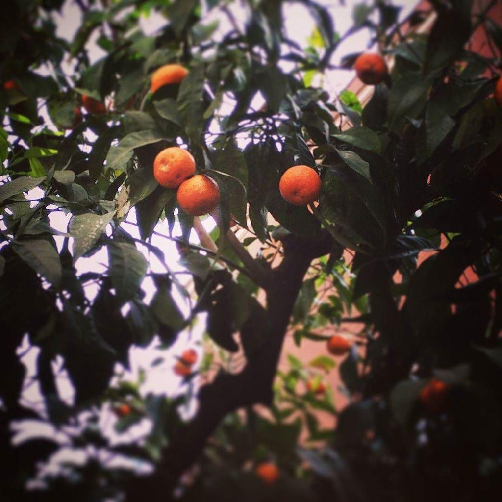 Orange trees in #barcelona #urban #springbreak  http:// ift.tt/2naKRwR  &nbsp;  <br>http://pic.twitter.com/6yFxGPBq2N