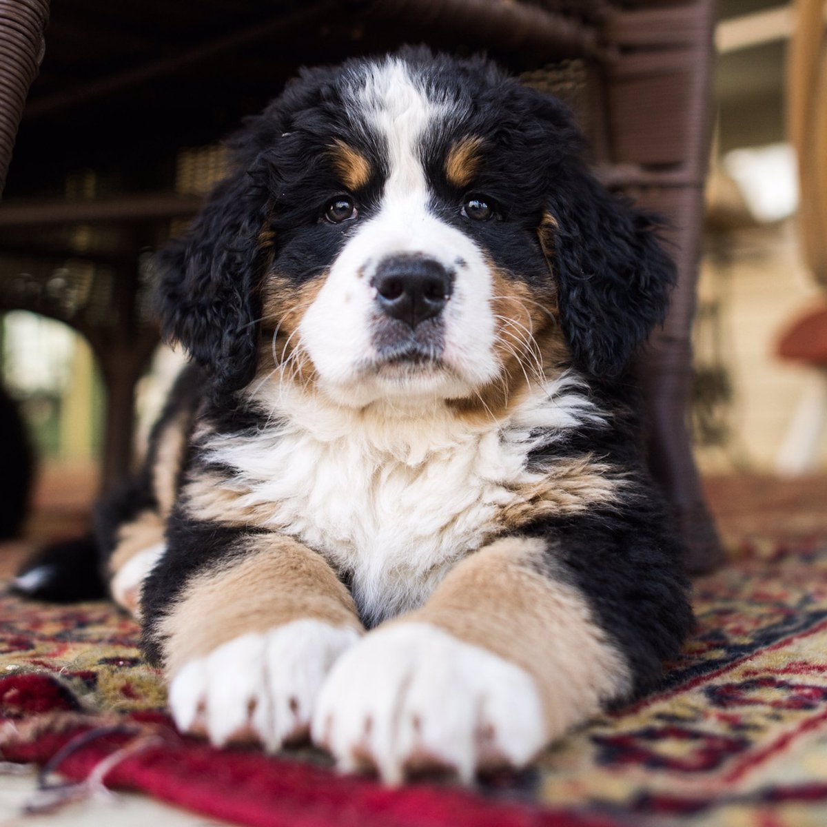 The Dogist On Twitter Bernese Mountain Dog 6 Wo Oley Pa A