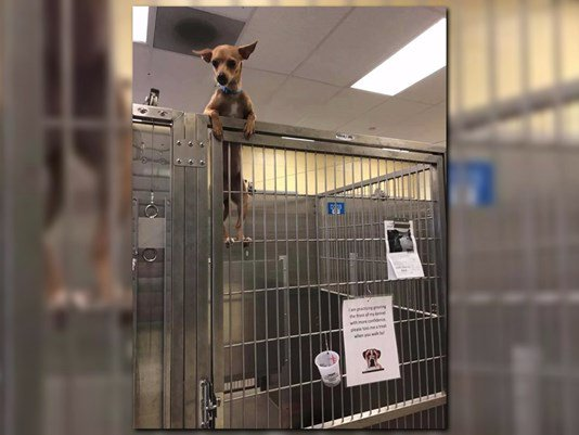 Shelter dog climbs kennel fence and into our hearts  http:// ow.ly/a24V30ac4Ef  &nbsp;   #dogs #shelterdog #puppies #adoption #k9 #doglovers #spca<br>http://pic.twitter.com/qBvbzA7BC0