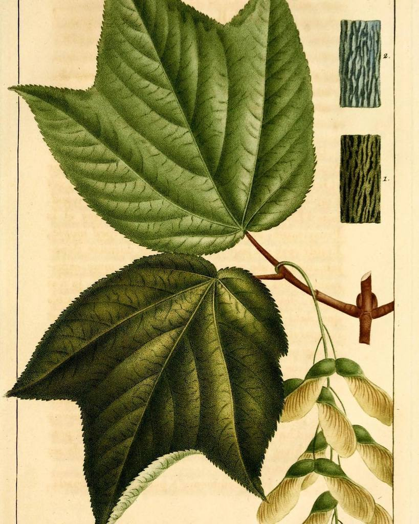 Bhl On Twitter Sciartfix Moose Maple Acer Spicatum Sciart By