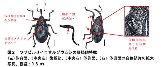 畑ワサビの害虫ゾウムシを新種として発表(23年度研究成果) https://t.co/vSlRbKcOVL これまでミドリサルゾウムシと混同されてきたワサビの害虫は新種ワサビルリイロサルゾウムシだった。 https://t.co/awxv2Z2Vfz