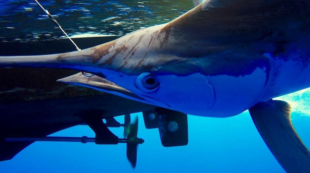 Kona, HI - Marlin Magic released a Blue Marlin.