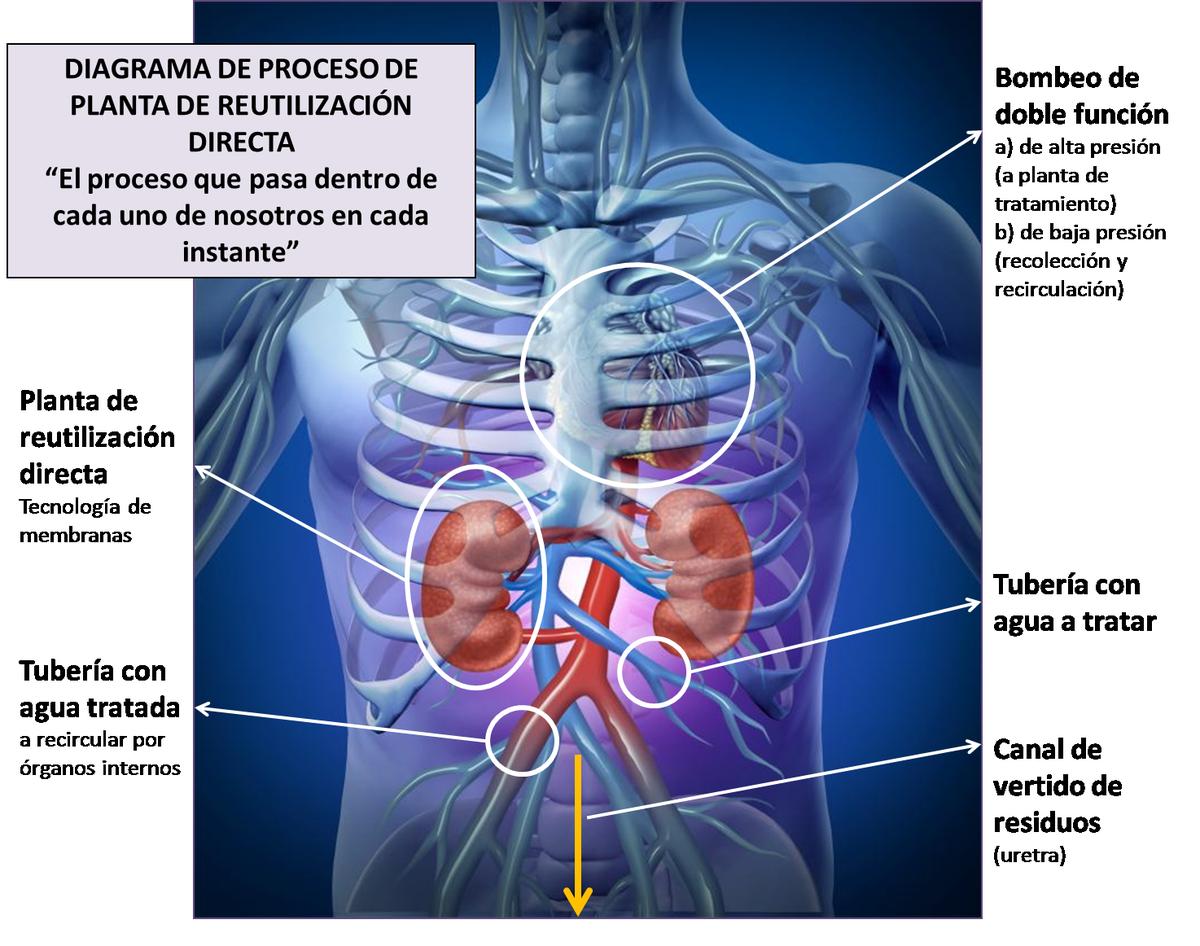 Famoso órganos Internos Macho Diagrama Ornamento - Imágenes de ...