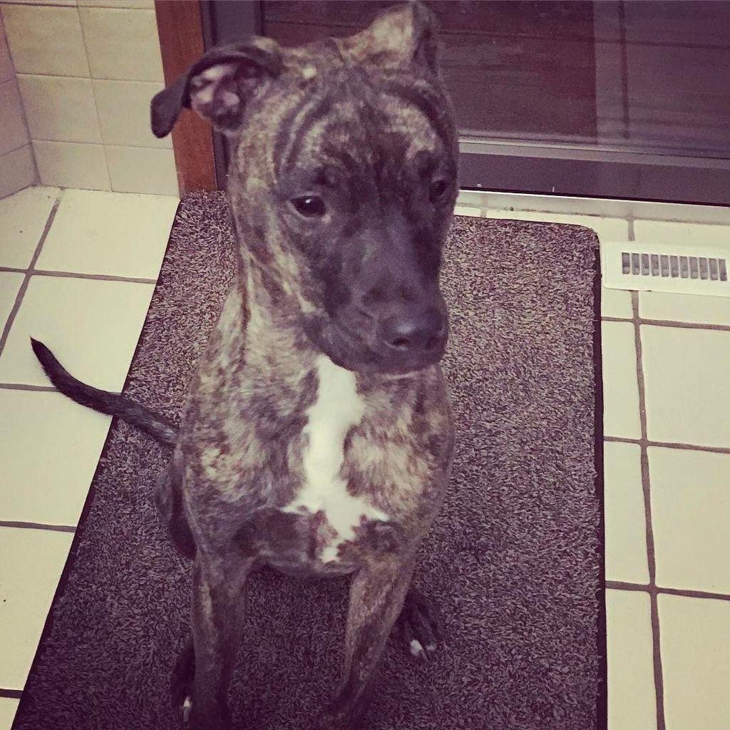 Still a #puppy #brindle #sharpeimix #rescue #doglovers #dogstagram #Aiko<br>http://pic.twitter.com/YbQ61EYu9z