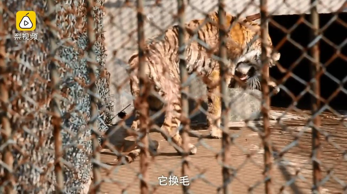 #China: Exposé of #zoos reveals abuse, illegal #tiger trade  #poaching  https://www. facebook.com/environmentali nvestigationagency/videos/10158318247705648/ &nbsp; … <br>http://pic.twitter.com/jK7OHT5FK9