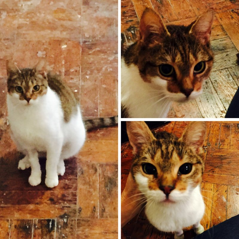 FRIENDLY FRIDAY: Sassy, adorable rescue #kitty in NYC, is looking for her forever home