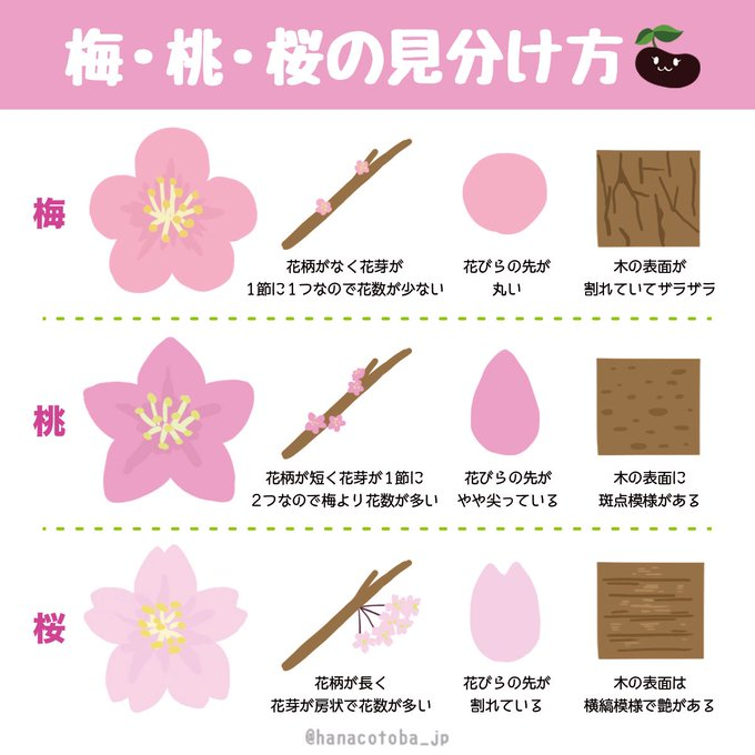 梅桃桜の見分け方のイラストが分かりやすいと話題に Togetter