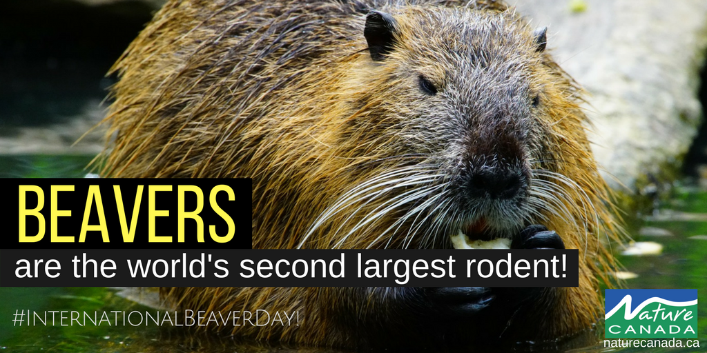 Did you know, after the capybara, beavers are the second largest rodent in the world? Happy #InternationalBeaverDay! https://t.co/tWdPVDj1Ed
