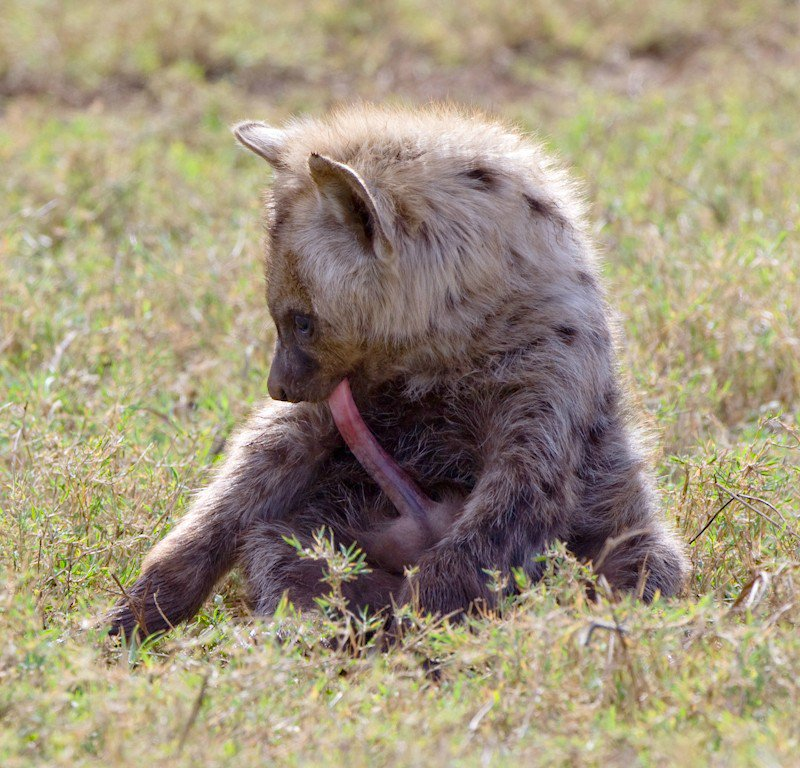 Jan Schaumann On Twitter Spotted Hyena Females Are Up To 25