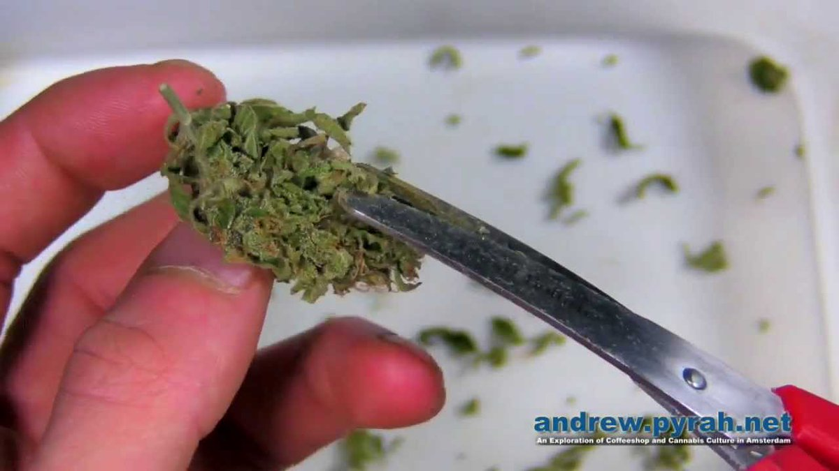 Grow Q&A: How Closely Should I Trim My Marijuana Buds? – High Times