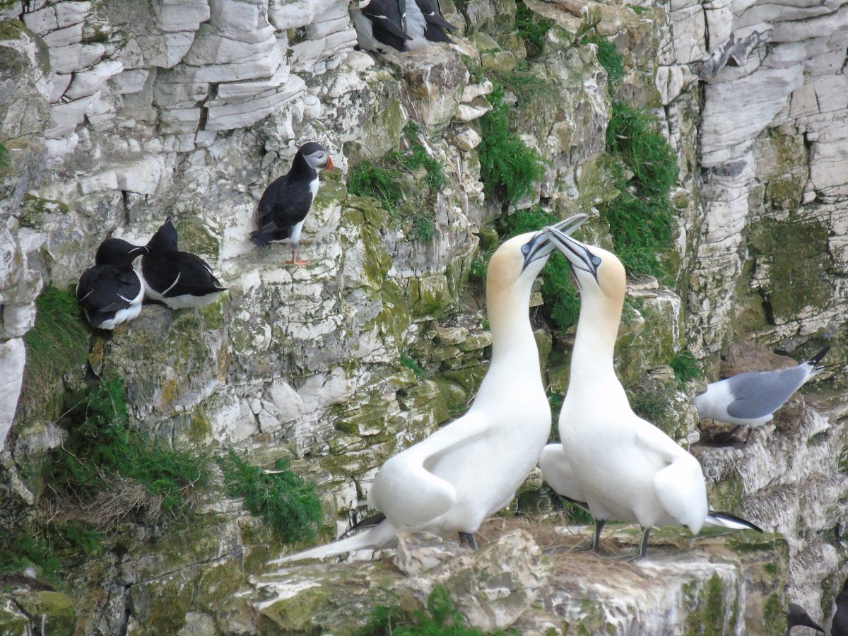 Birds at Bempton Cliffs