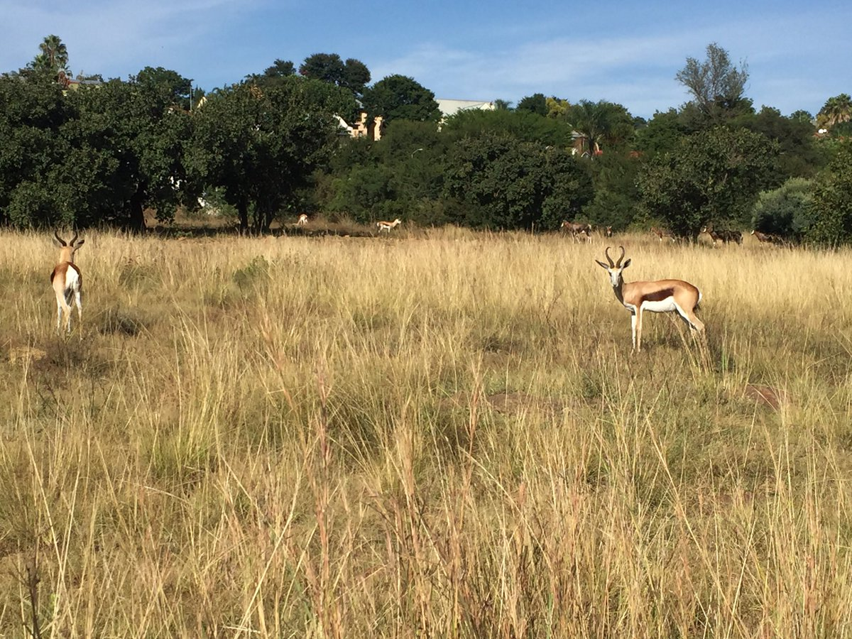 The greenhouse pr - Greenhouse Pr On Twitter Our National Animal Not Always Easy To Find Beautiful Springbuck In The Moreleta Nature Reserve Pretoria
