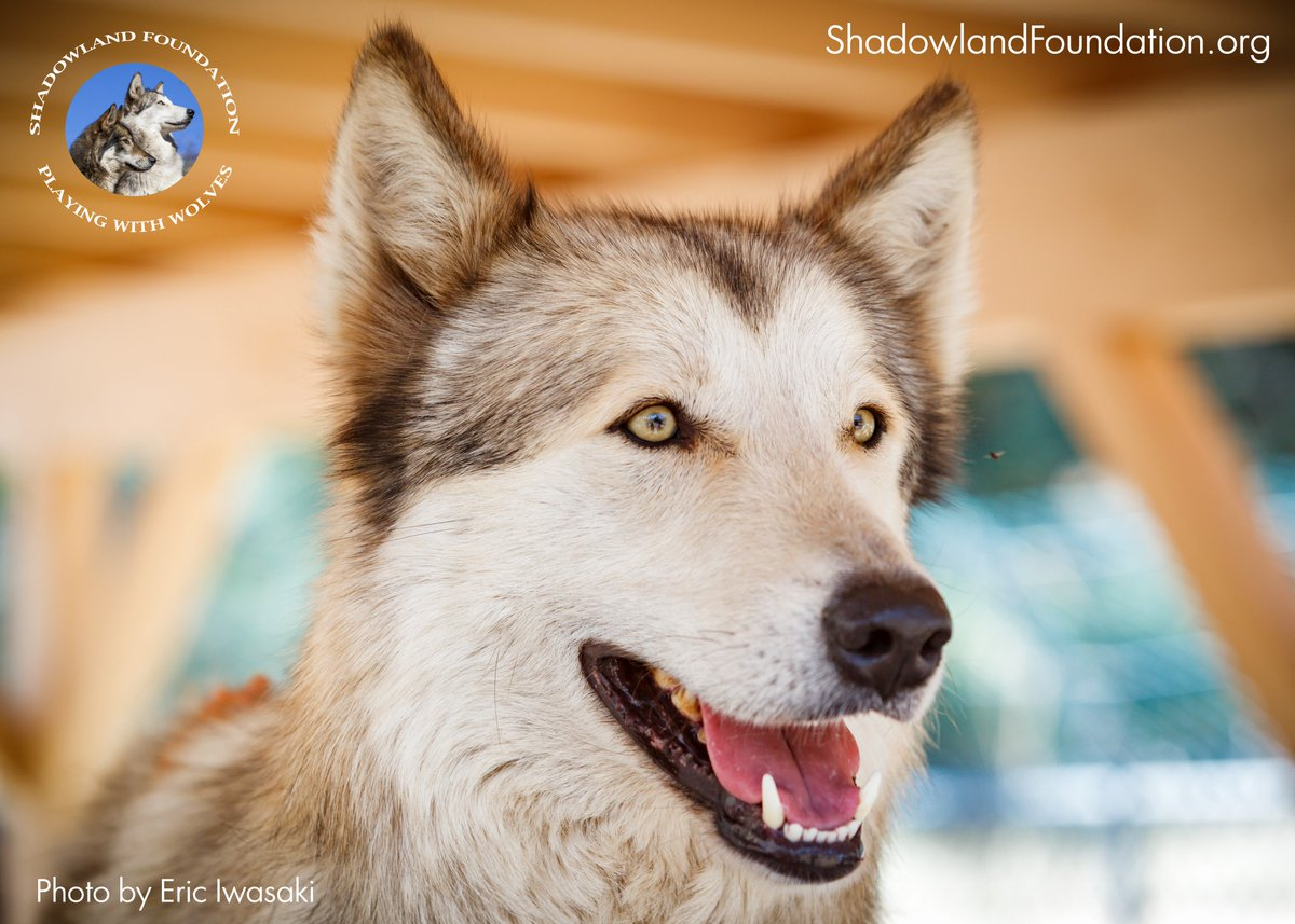 Join the #fundraiser #event #Celebration with the Shadowland #wolves APRIL 2nd at @WolfCreekBrew in Valencia, CA! Don&#39;t miss out!<br>http://pic.twitter.com/ihhlY946F6