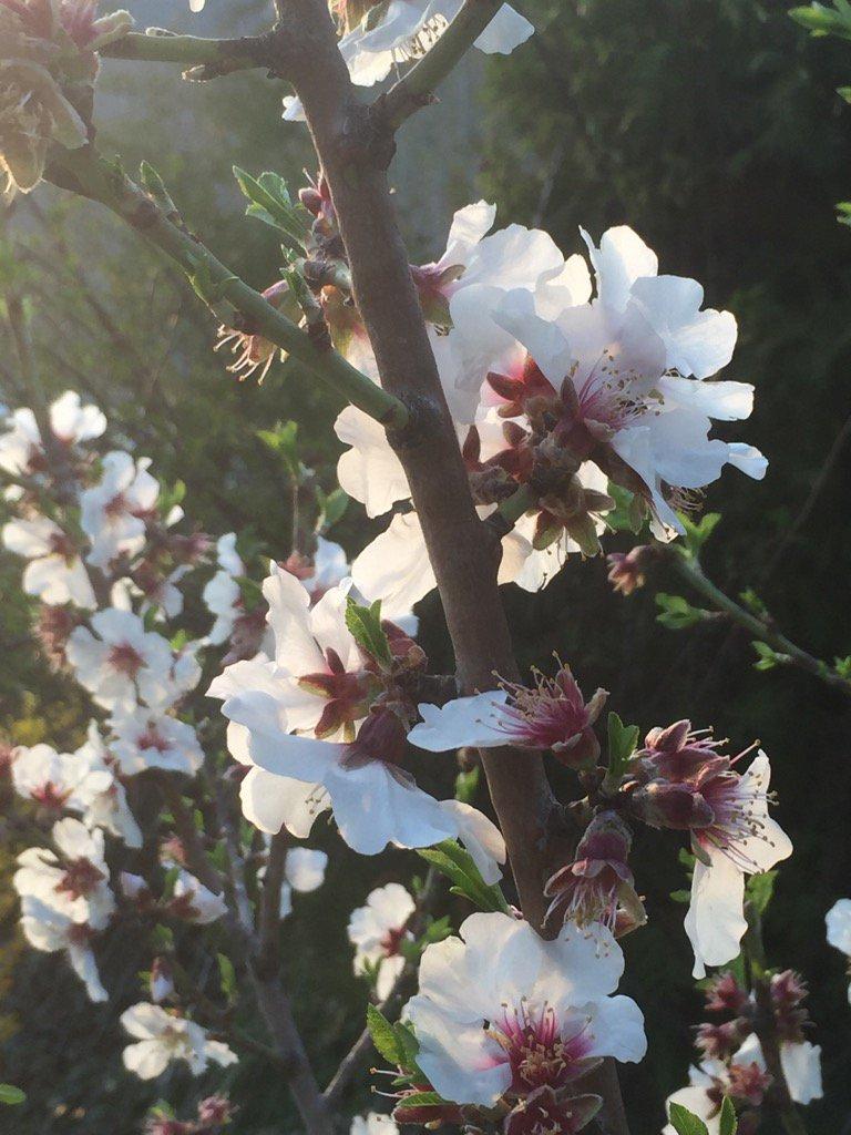 Au cœur des Alpes, en #Valais, poussent des amandiers aumoins depuis le 18e s. Plaisir de les revoir en fleurs ! <br>http://pic.twitter.com/5WYBYAMdPj