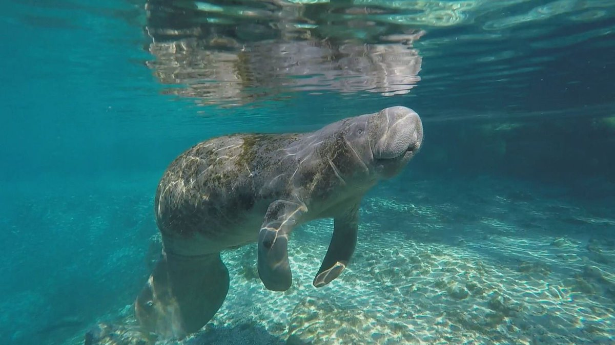 Us manatees are taking over the @VISITFLORIDA account today for #Manat...
