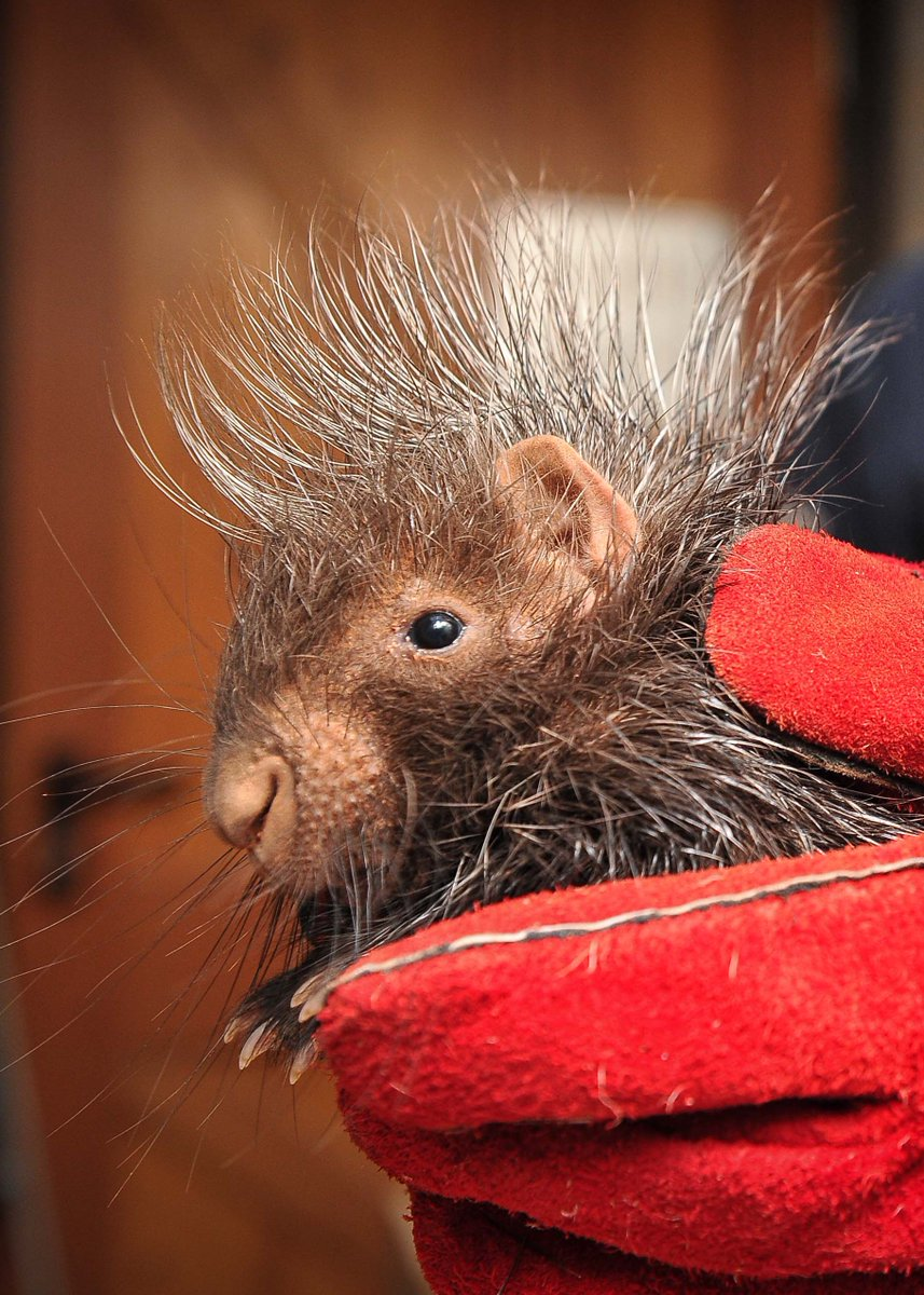 Baby porcupines are called porcupettes!  #TheZoo https://t.co/SZlhSwhD...