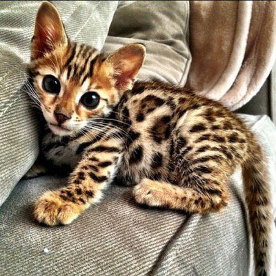 An extremely cute Bengal #kitten...