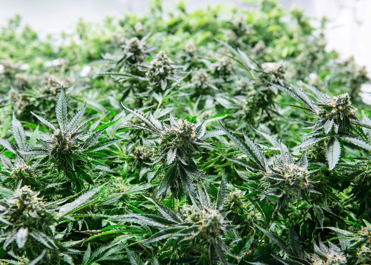 How to Get a Legal Medical Marijuana Card or AuthorizationPart 1, What Is a Medical Marijuana Card?