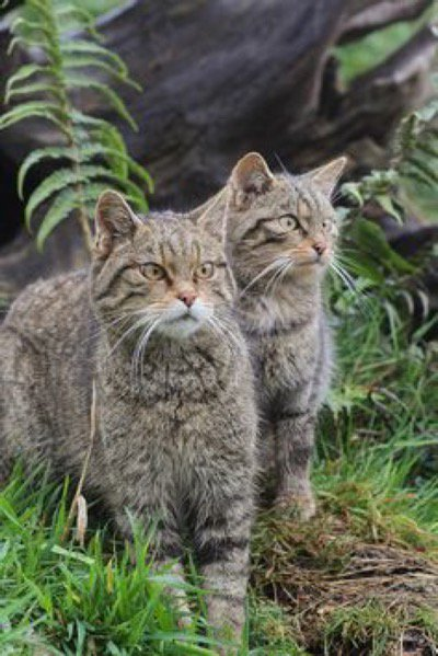 Check out these Scottish wild cats, there are wildcats all over the world, but only about 100 left in Scotland...