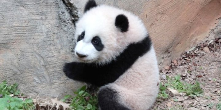 Watch the Atlanta panda twins continue to be too precious for words 😍...