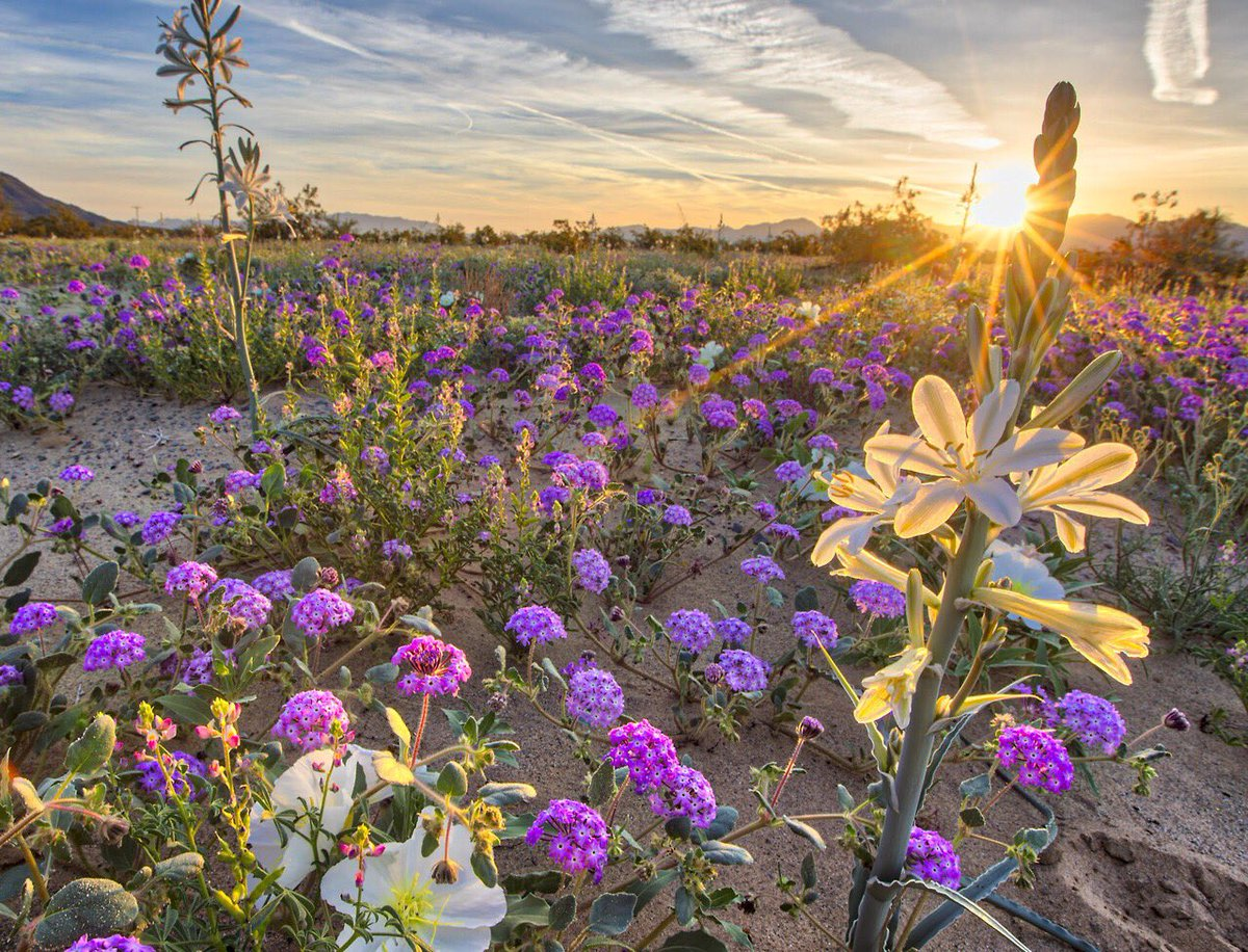 Wow! The wildflower bloom at Desert Lily Preserve is stunning! #California