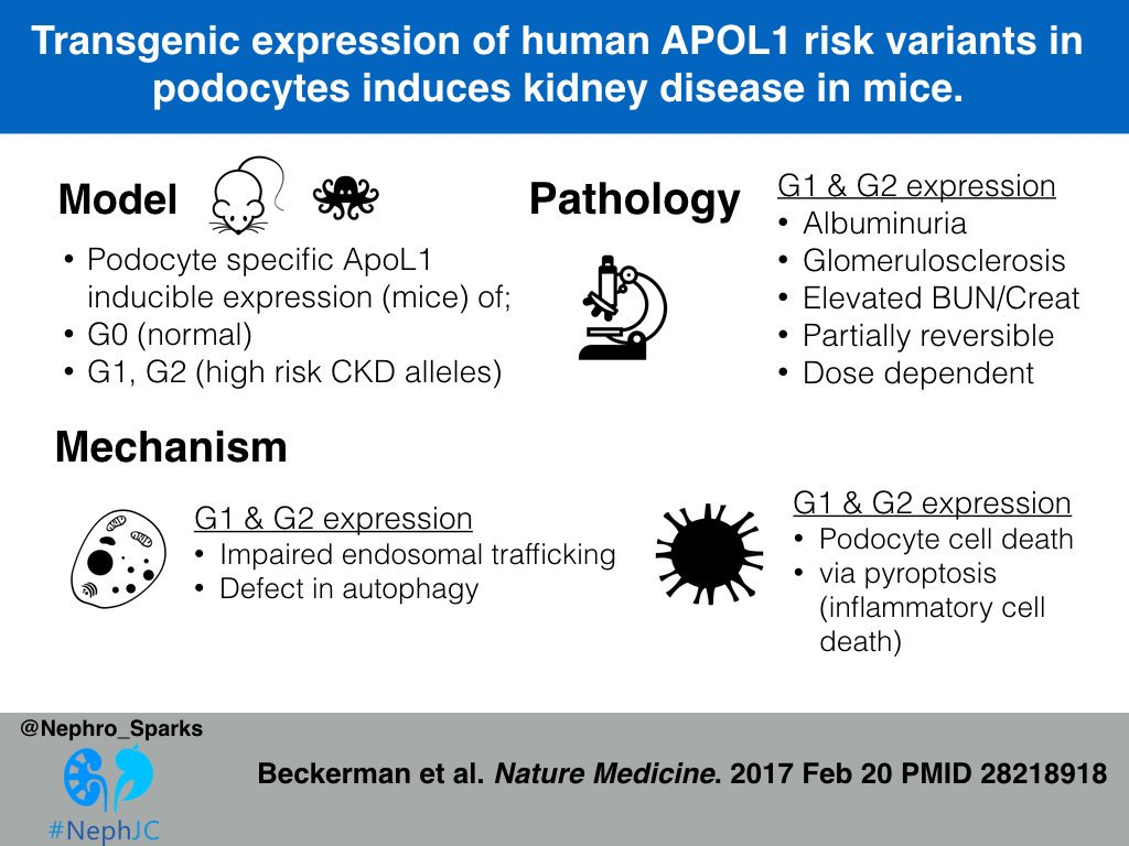 Thumbnail for Do APOL1 risk variants lead to a podocytopathy?