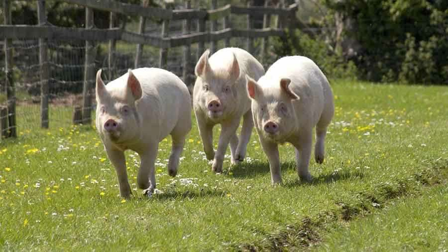 what is the scientific name of a pig