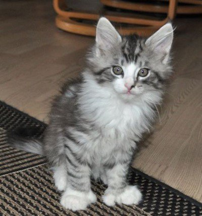 What do you think about this polydactyl Maine Coon kitten? I think he\'s delightful!