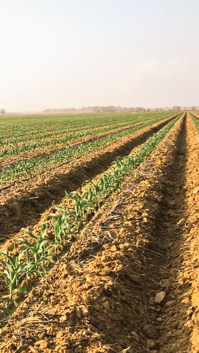 Feb20 corn looking strong! #pioneer @AR_Feedgrains  @mamiesmiles @MilesFarms69<br>http://pic.twitter.com/5HlTWz6Eln