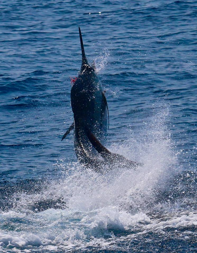 Guatemala - Capt. Brad Philipps on Decisive released a Blue Marlin on Fly.
