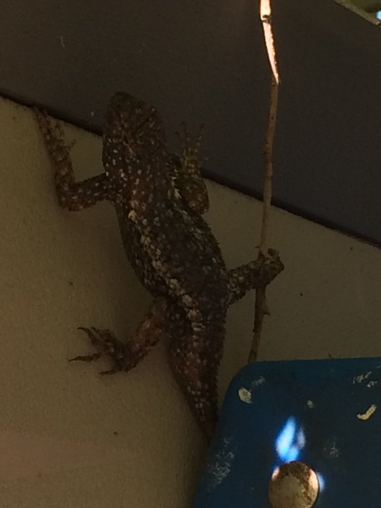 First #rescuedlizard today. pic.twitter.com/xWfyN6exAX
