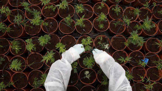 Es ley el #CannabisMedicinal: el proyecto no contemplaba el autocultiv...