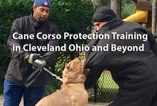 Cane Corso Protection Training in Cleveland - Golden State K9 Training  http:// gstk9.com/k9/dgaso  &nbsp;   #Cleveland #Dogs #CaneCorso #homesecurity <br>http://pic.twitter.com/DVOHVKKeQ8