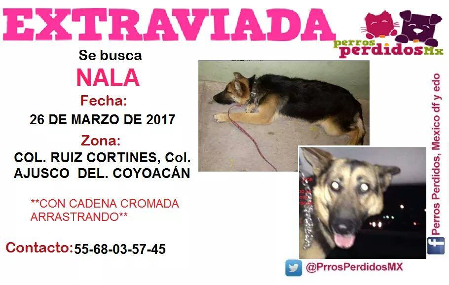 #SEBUSCA #NALA COL #AJUSCO #COYOACAN @centrodecoyo @MascotaCoyoacan @PrrosPerdidosMX @PetBookMexico @sebuscaCdMx @Coyoacan_ @AnimalitosRed<br>http://pic.twitter.com/VHZrRN0YFP